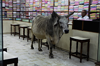 A bull in a textile shop, India - Alex Mares-Manton