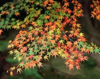 Japan, color of autumn maple - Rex Butcher