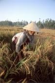 Vietnam, Mekong Delta, woman working in rice field. - Steve Raymer