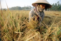 Vietnam, Mekong Delta, woman harvesting rice. - Steve Raymer