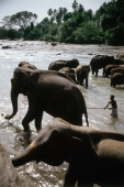 Sri Lanka, Man in Maha Oya river with elephants at Pinnawella elephant orphanage - Jill Gocher