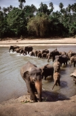 Sri Lanka, Elephants leaving the Maha Oya river at the Pinnawella elephant orphanage - Jill Gocher