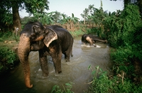 Sri Lanka, Elephants bathing in river - Jill Gocher