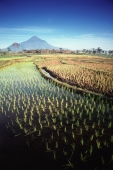 Indonesia, East Java, rice paddies with volcano in background - Jill Gocher
