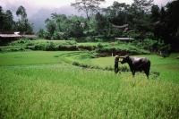 Indonesia, S. Sulawesi, Toraja, man with buffalo in field - Jill Gocher