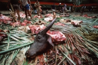 Indonesia, S. Sulawesi, Toraja, Severed buffalo head at funeral ceremony. - Jill Gocher