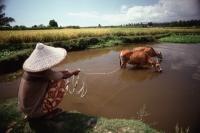 Indonesia, Lombok, Cows bathing. - Jill Gocher