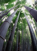 Japan, Wide angle view of bamboo forest from below - Rex Butcher