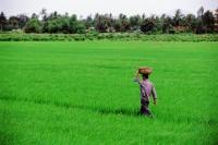 Vietnam, Tay Ninh, A worker walking through a rice field. - Steve Raymer