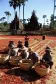 Myanmar (Burma), Villagers drying chillies in the sun - John McDermott