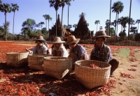 Myanmar (Burma), Villagers drying chillies in the sun - John McDermott