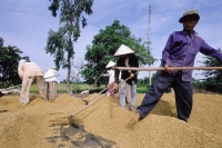 Vietnam, Mekong Delta region, Long Xuyen, Farmers drying rice. - Steve Raymer