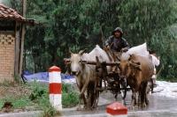 Vietnam, Mekong Delta region, Long Xuyen, Rice farmer driving cart in the rain. - Steve Raymer
