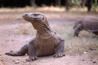 Indonesia, Komodo Island, Close-up of  Komodo dragon - Jill Gocher