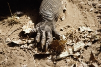 Indonesia, Komodo Island, Close-up of Komodo dragon claw - Jill Gocher