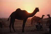 India, Rajasthan, Pushkar, Silhouettes of camels at sunset - Jill Gocher