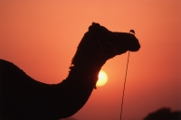 India, Rajasthan, Pushkar, Silhouettes of camel at sunset - Jill Gocher