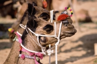 India, Rajasthan, Pushkar, Camels decorated for the fair. - Jill Gocher
