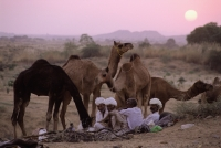 India, Rajasthan, Pushkar, Traders and their camels settle down for the night. - Jill Gocher