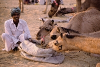 India, Rajasthan, Pushkar, A trader sits by his camels while they eat. - Jill Gocher