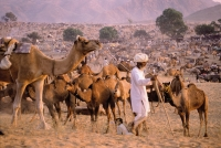 India, Rajasthan, Pushkar, A man prepares for night by tethering his camels. - Jill Gocher