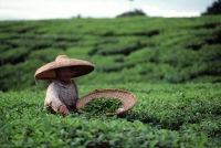 Indonesia, Bandung, tea plantation - Alex Mares-Manton