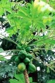 Malaysia, Penang, Papaya tree - Alex Mares-Manton