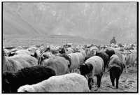 India, Northern India, Srinagar-Leh Road, Lamayuru Village, Boy shepherding sheep. - Mary Grace Long