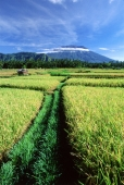 Indonesia, Bali, Klungkung, rice fields, Mount Agung in background.  (grainy) - Martin Westlake