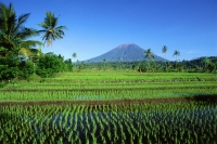 Indonesia, Bali, Klungkung, newly planted rice fields, Mount Agung in background.  (grainy) - Martin Westlake
