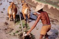 Indonesia, Bali, Ubud, Balinese man ploughing rice padi. (grainy) - Martin Westlake