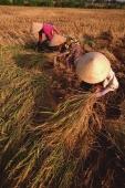 Vietnam, Outside Vinh Long, Mekong delta, Female farm workers harvesting rice. - Martin Westlake
