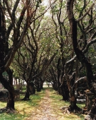 Avenue of ancient Frangipani trees - Martin Westlake