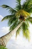 Low angle view of a coconut tree - Alex Microstock02