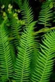 Close up of fern leaves - Alex Microstock02