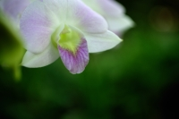 Close up of white Orchid flower - Alex Microstock02