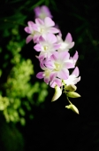Stalk of pink Orchid flowers - Alex Microstock02