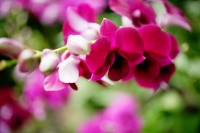 Close up of pink Orchid flowers - Alex Microstock02