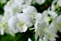Close up of white Orchid flowers - Alex Microstock02