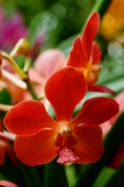 Close up of red Orchid flowers - Alex Microstock02
