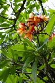 Branch of Frangipani tree, flowers in bloom - Alex Microstock02