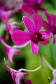 Close up of purple flowers, orchids - Alex Microstock02
