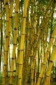 Trunks of Bamboo plants, Chinese Garden, Singapore - Yukmin