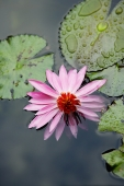 Water lily in pond - Yukmin