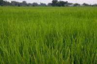 Rice paddy field, Thailand - Yukmin