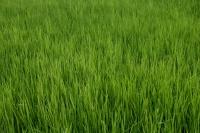 Close-up of Rice paddyfield, Thailand - Yukmin