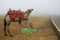 A pair of camels eating, Mumbai, India - Yukmin
