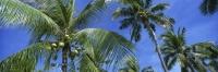 Coconut trees, Cebu, Philippines - OTHK