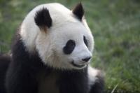 Giant Panda, Chengdu Panda breeding and research center, Chengdu, China - OTHK