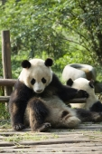 Giant Panda, Chengdu Panda breeding and research center, Chengdu, China - OTHK